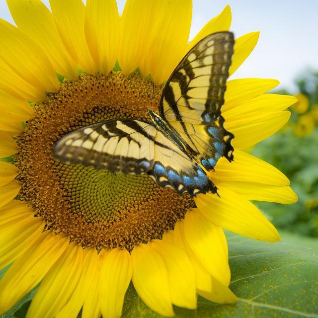 Sunflower 3737776 1920